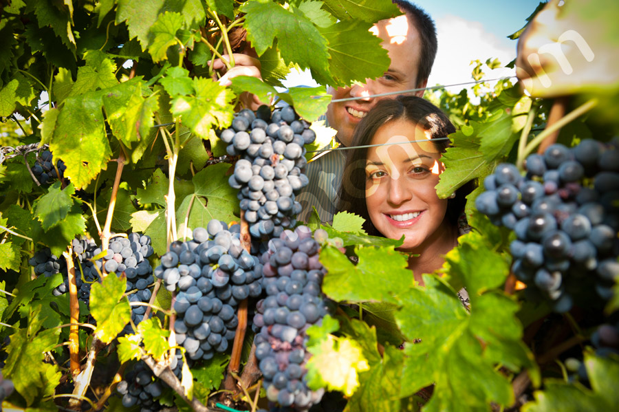 Picture of an engaged couple through the vineyard among grapes and vines
