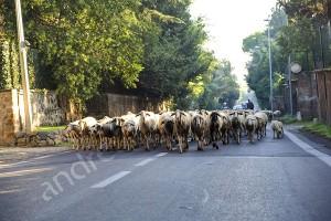 Sheeps running on asphalt urban road in Rome Italy