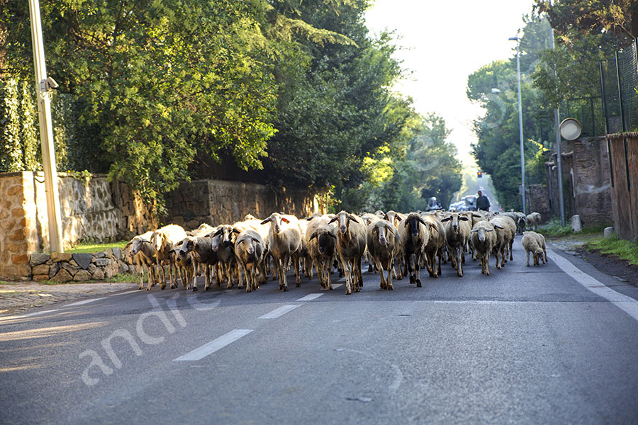 Sheeps running on asphalt urban road in Rome Italy