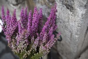 Lavender plan closeup.