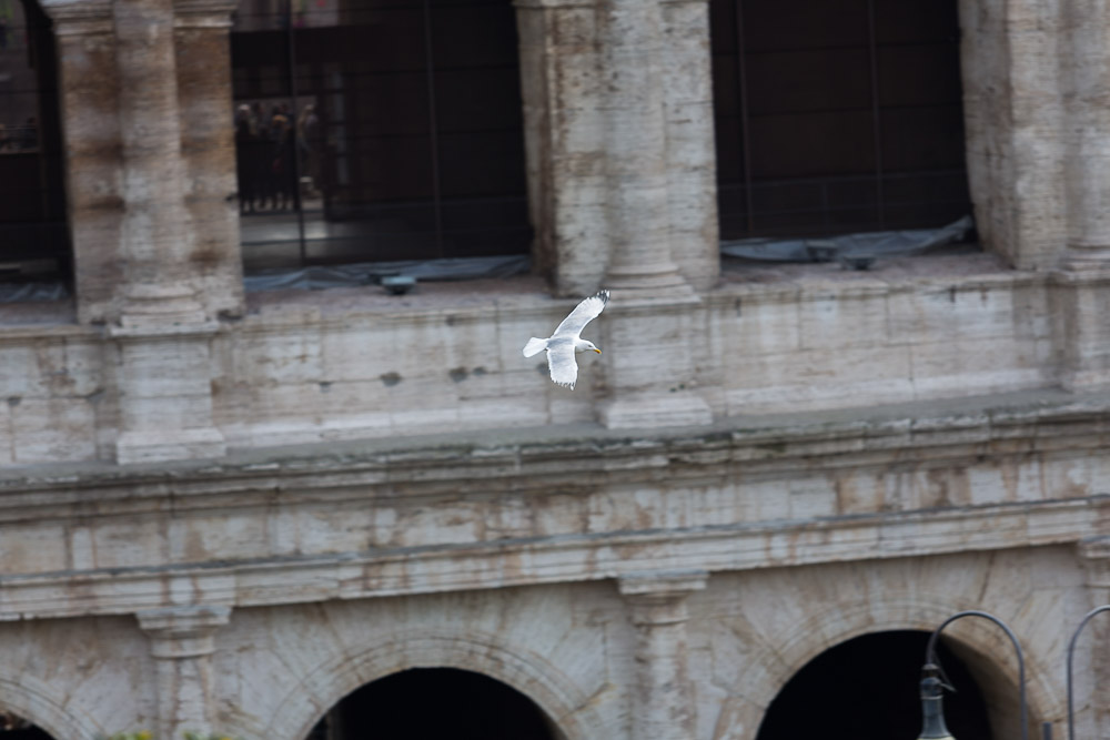 A seagull flying over the roman coliseum