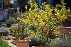 Lemon plants.