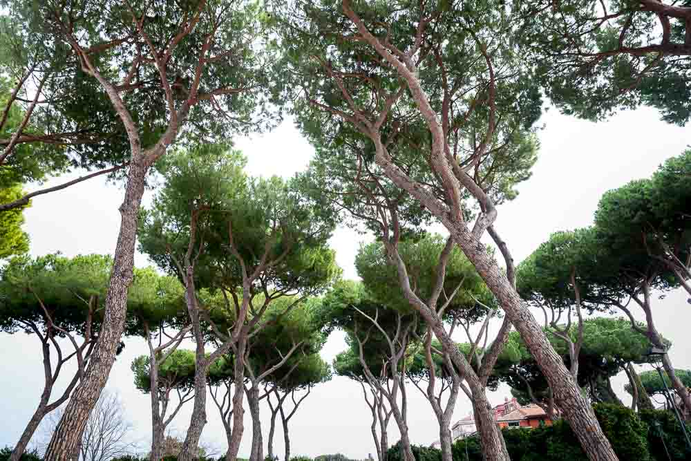 Mediterranean pine trees up above
