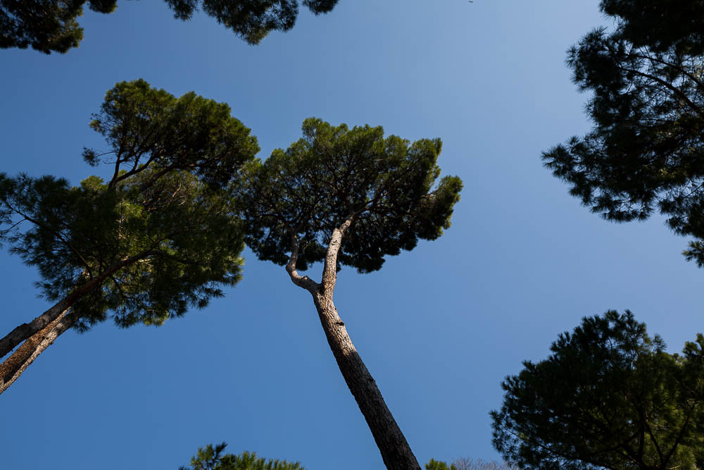 The view above. Mediterranean pine trees.