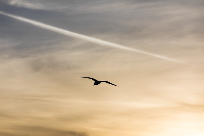 Seagull bird photographed in the sky