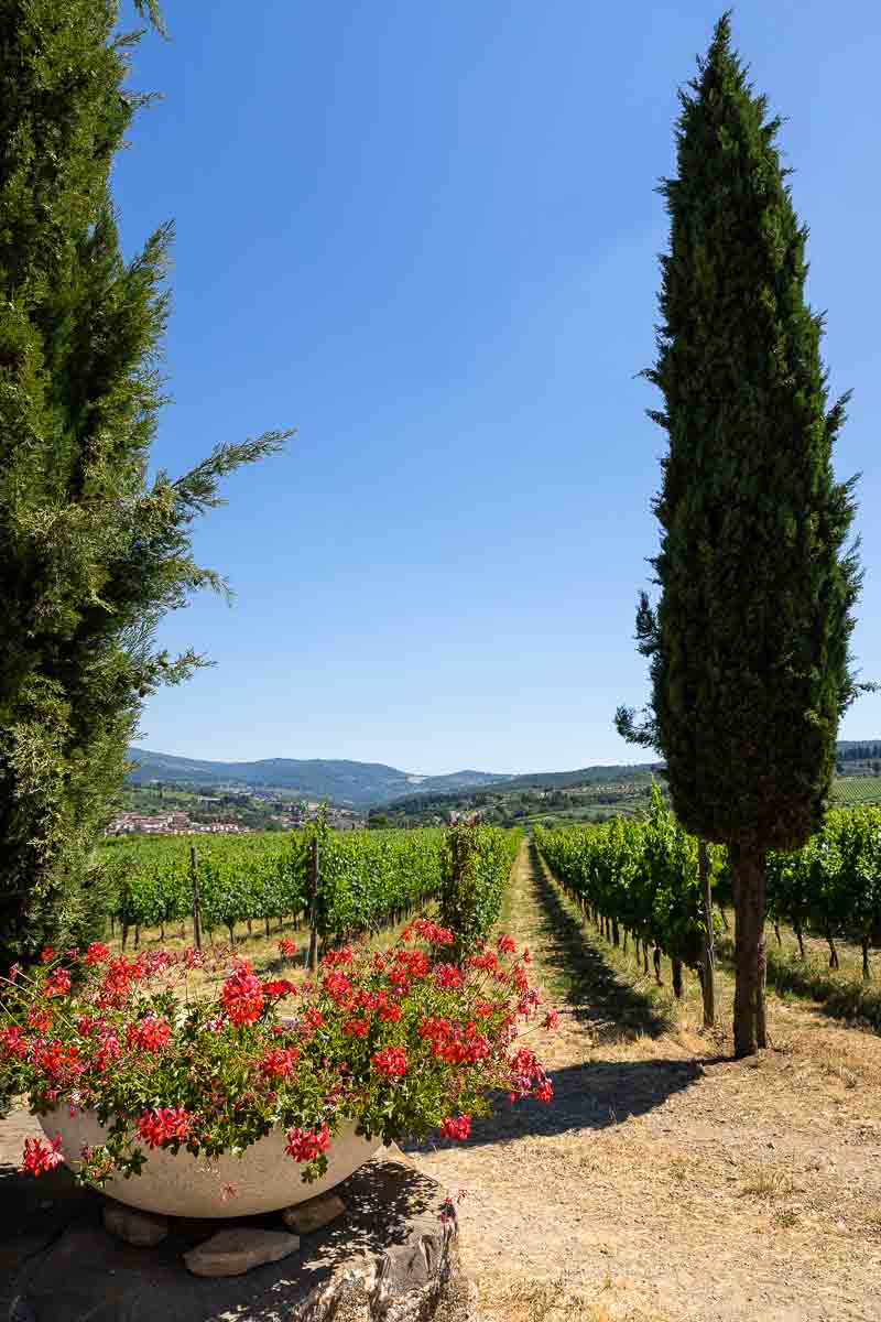 Tuscan cypress trees with red geranium flowers and the vineyard in the background