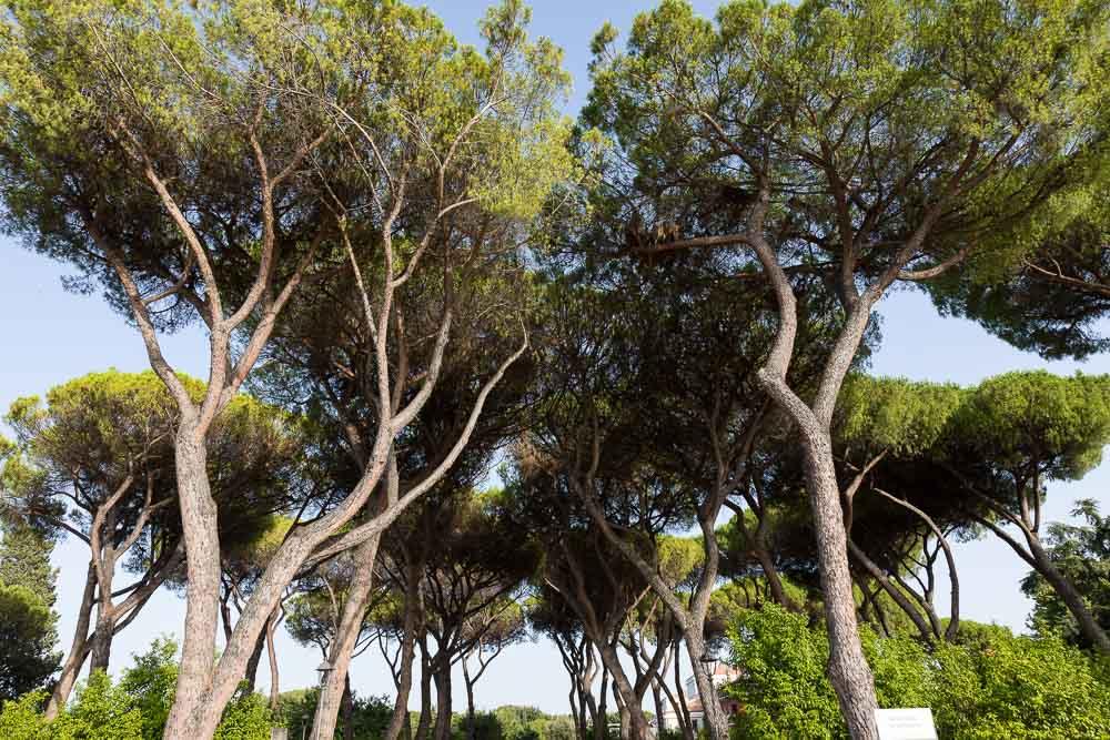 Mediterranean pine trees soaring into the sky